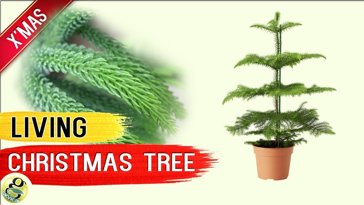 living christmas tree norfolk island pine tree living xmas tree care tips after holidays