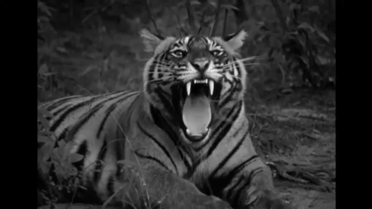 Гифка тигр рычит, днем