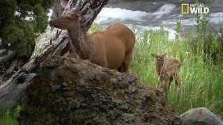 Une femelle wapiti défend son petit contre un loup