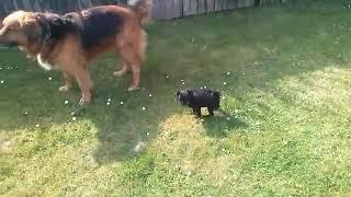 PUPPY POWER!!! 13 wk old pug vs shepherd