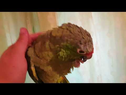 Видео: Краснолобый амазон Кукусик