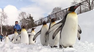 北海道旭川市の旭山動物園で12月12日、積雪期限定の「ペンギンの散...