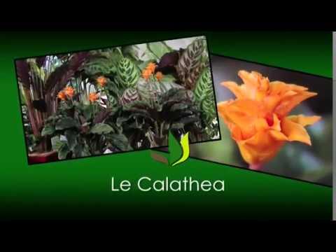 Le Calathea Plante Verte D 39 Int Rieur Jardinerie Truffaut Tv Youtube