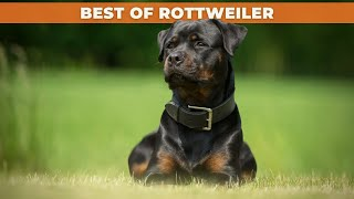 BEST OF ROTTWEILER  THE SUPER STRONG DOG BREED