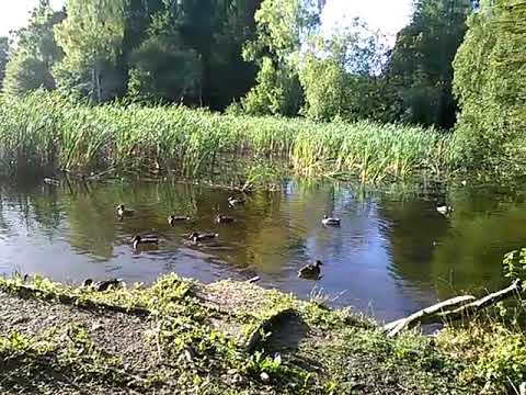 Anyone for a dip. Donadea Forest, lake. Co. Kildare. Ireland.