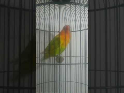 Lovebird Laras ngekek panjang