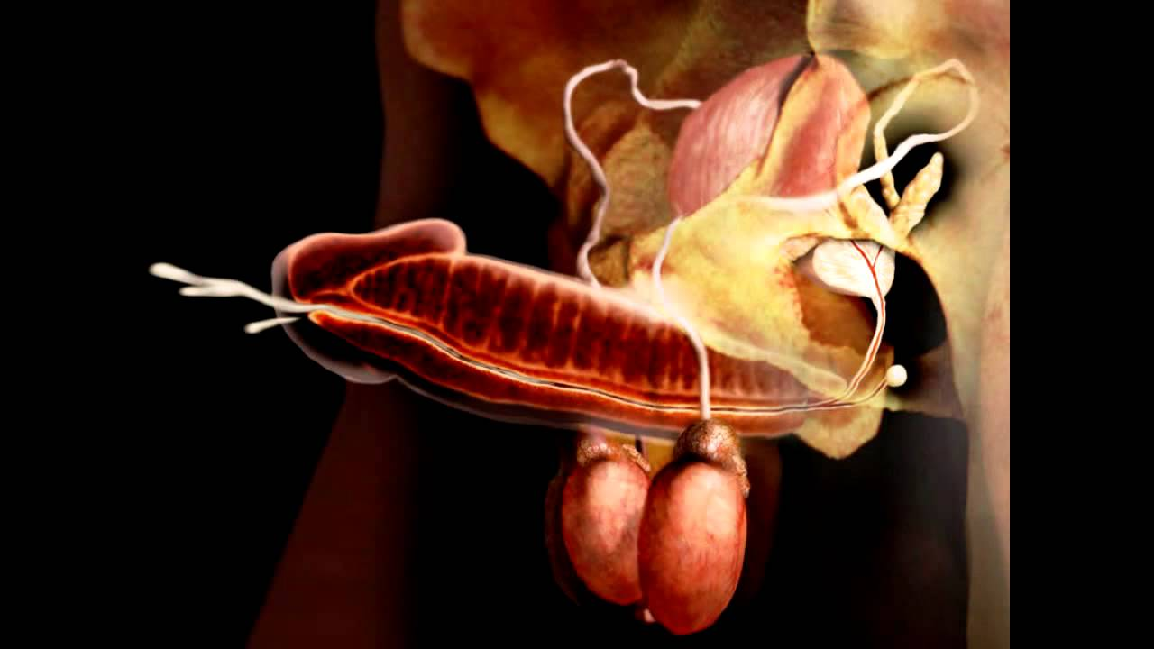 Anatomia del Sistema Reproductor Masculino - YouTube