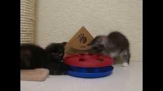 Курильский бобтейл (короткохвостая порода кошек) продажа