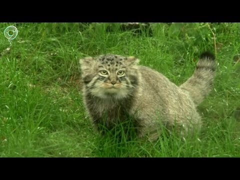 Ещё один манул покинул Новосибирский зоопарк