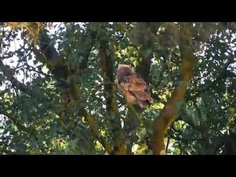 Vroege Vogels - Ransuil doet vliegoefening