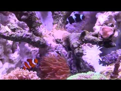 Mixed Tank mini saltwater reef with natural ocean sounds