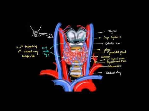 Thyroid Gland Anatomy -2
