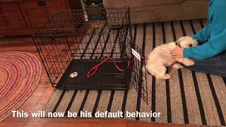 Crate Training with a Havanese