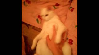 У кошки первая течка