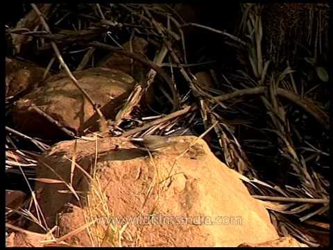 White-browed Fantail Flycatcher (Rhipidura aureola) - A small passerine bird