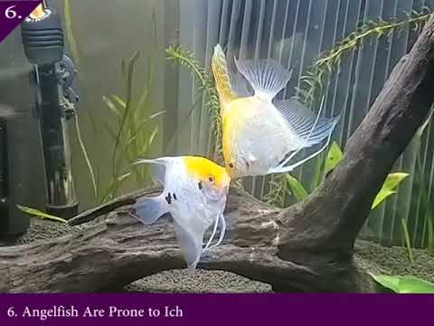 Angel Fish Kissing || Angel Fish Breeding Facts || Female And Male Angelfish