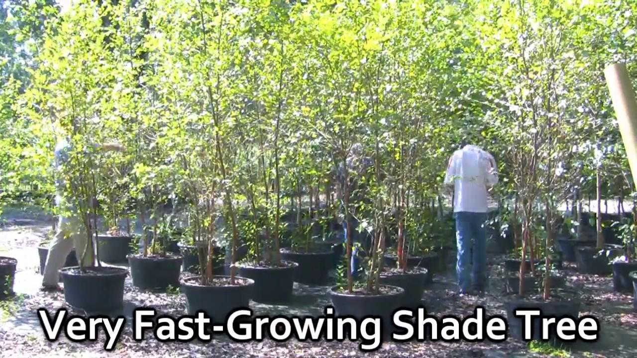 River Birch Shade Tree Nursery Fast Growing Trees Ny Oh