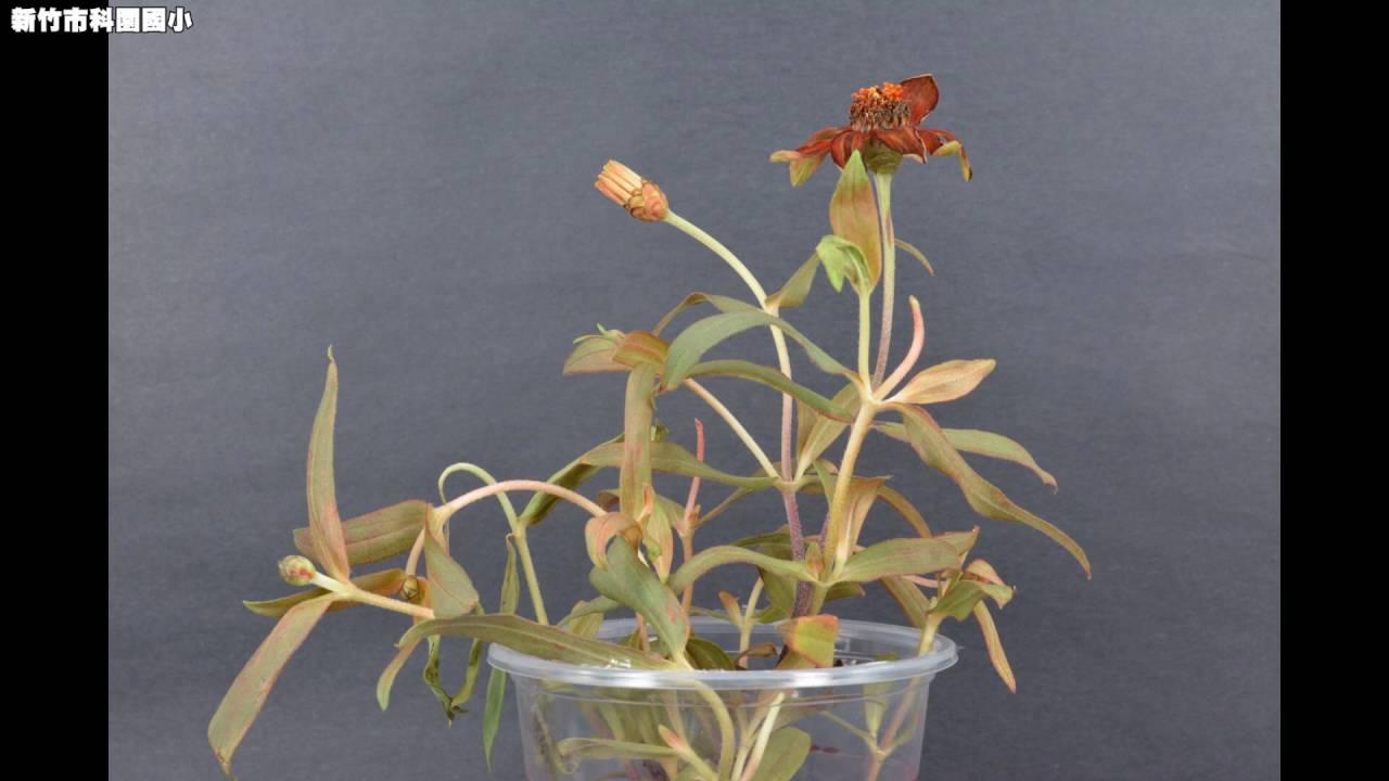 植物吸水實驗 - YouTube