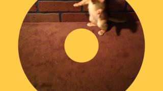 Абиссинский котенок окраса сорель