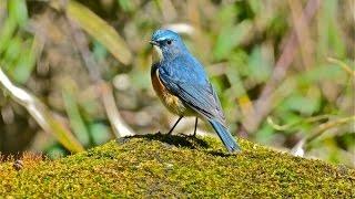 市川-里見公園でルリビタキ探鳥