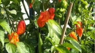 ghost chilli pepper plants growing update 29th september 2012