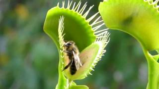 Venus flytrap eating a bee