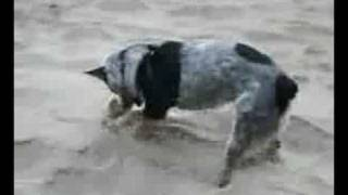 Milo At Coos Bay, Oregon Beach - Cattle Dog Digging In Sand