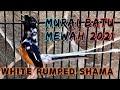 Murai Ikut Nyaut Trainging White Rumped Shama Bird To Song  Mp3 - Mp4 Download