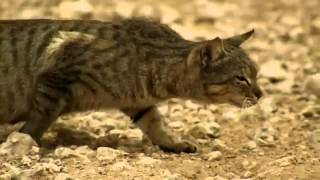Тигр на охоте  Приколы(Веселые приколы с котами и животными, а также их хозяевами, ну и прочими лицами. 0:20 смотрите здесь 0:32 и здесь..., 2013-09-12T08:41:11.000Z)