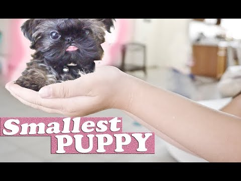 The Smallest Dog | Imperial Shih Tzu