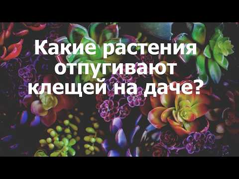 Вопрос: Какой запах отпугивает клещей от человека?