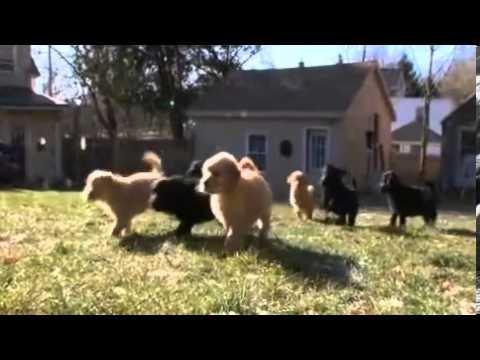 Dogs 101 ~ Goldendoodle Designer medium 2