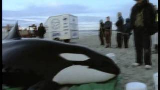 An orca stranding rescue.