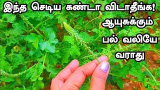 இந்த செடிய கண்டா விடாதீங்க! ஆயுசுக்கும் பல் வலியே வராது! Tooth Cavity Remedy Tamil | Teeth PainTamil