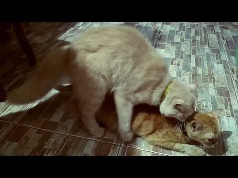 Kucing Anggora vs Kucing kampung Indehoy