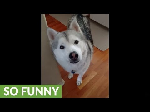 Passionate husky lovingly welcomes home owner