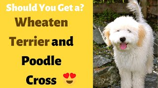 Whoodle: Wheaten Terrier and Poodle Mix Breed   What are the Characteristics and Facts?