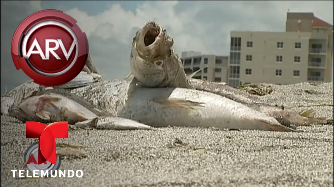 desastre-ecolgico-acaba-la-vida-marina-en-florida-al-rojo-vivo-telemundo