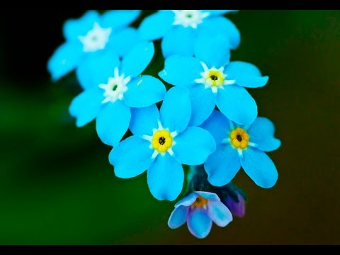 Most Beautiful Forget Me Not Flowers Youtube