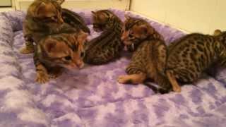 Бенгальские котята из питомника Оцелла.