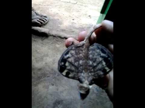 Cicak Terbang Hutan Klarap Youtube Gambar