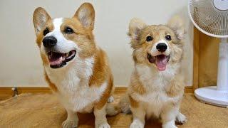 Goro & Roku / ゴローさんとロクさん 20150814 Goro@welsh Corgi Puppy 子犬