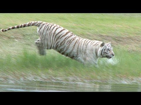 White Tiger Loves to Swim!