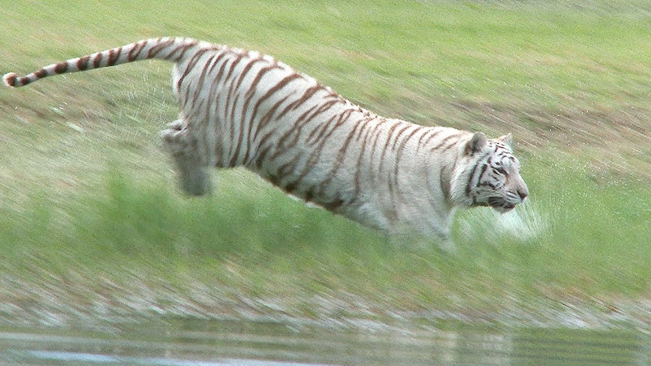 white tiger loves to swim youtube