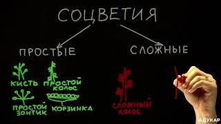 Виды соцветий| Биология