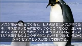ペンギンの生態や分布などの説明の動画です 第1回である今回は世界最大...
