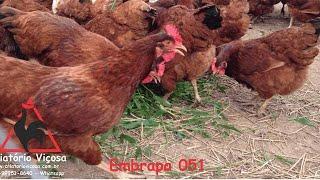 Criatório Viçosa - Embrapa 051 - ovos férteis, galados - Unidade - Compre 12 e leve 15