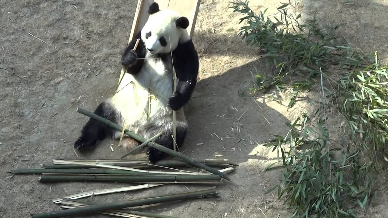 超可愛的熊貓吃竹子喔 - YouTube