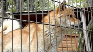 小諸市動物園の川上犬「さくら」。 Japanese Kawakami Inu.Medium-sized...