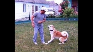 Собака с характером, Акита-ину по кличке Юджин